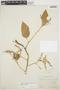 Chamissoa altissima var. rubella Suess., BRAZIL, A. F. M. Glaziou, F