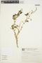 Amaranthus spinosus image