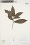 Sloanea L., GUYANA, H. D. Clarke 4531, F