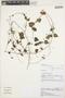 Sida hederifolia Cav., PERU, R. W. Bussmann 18493, F