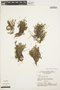 Mayaca madida (Vell.) Stellfeld, BRAZIL, G. T. Prance 16012, F