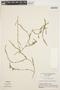 Mayaca fluviatilis Aubl., BRAZIL, G. T. Prance 14495, F