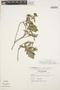 Columellia oblonga subsp. sericea (Kunth) Brizicky, ECUADOR, L. B. Holm-Nielsen 6337, F