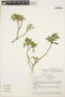 Columellia oblonga subsp. sericea (Kunth) Brizicky, ECUADOR, N. López Granda 039, F