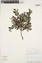 Columellia oblonga subsp. sericea (Kunth) Brizicky, ECUADOR, A. Juncosa 835, F