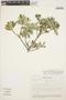 Columellia oblonga subsp. sericea (Kunth) Brizicky, ECUADOR, K. Romoleroux 249, F