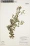 Columellia oblonga subsp. sericea (Kunth) Brizicky, ECUADOR, J. Humbles 6249, F