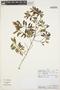 Columellia oblonga subsp. sericea (Kunth) Brizicky, PERU, E. Suclli M. 1588, F