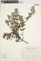 Columellia weberbaueri Schltr., Peru, A. Sagástegui A. 12321, F