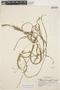 Mayaca longipes Mart. ex Seub., BRAZIL, Y. Mexía 5970, F
