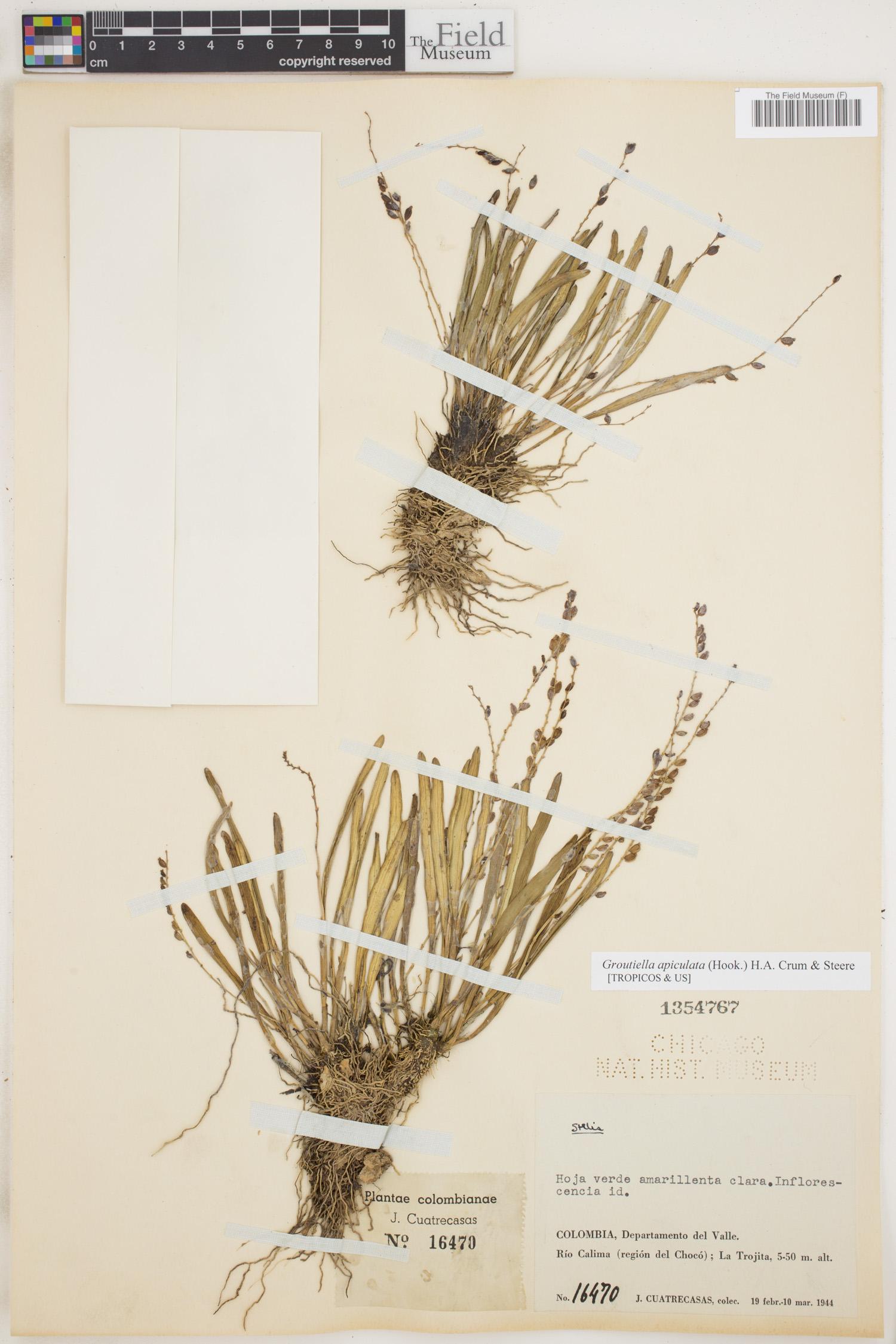 Groutiella apiculata image