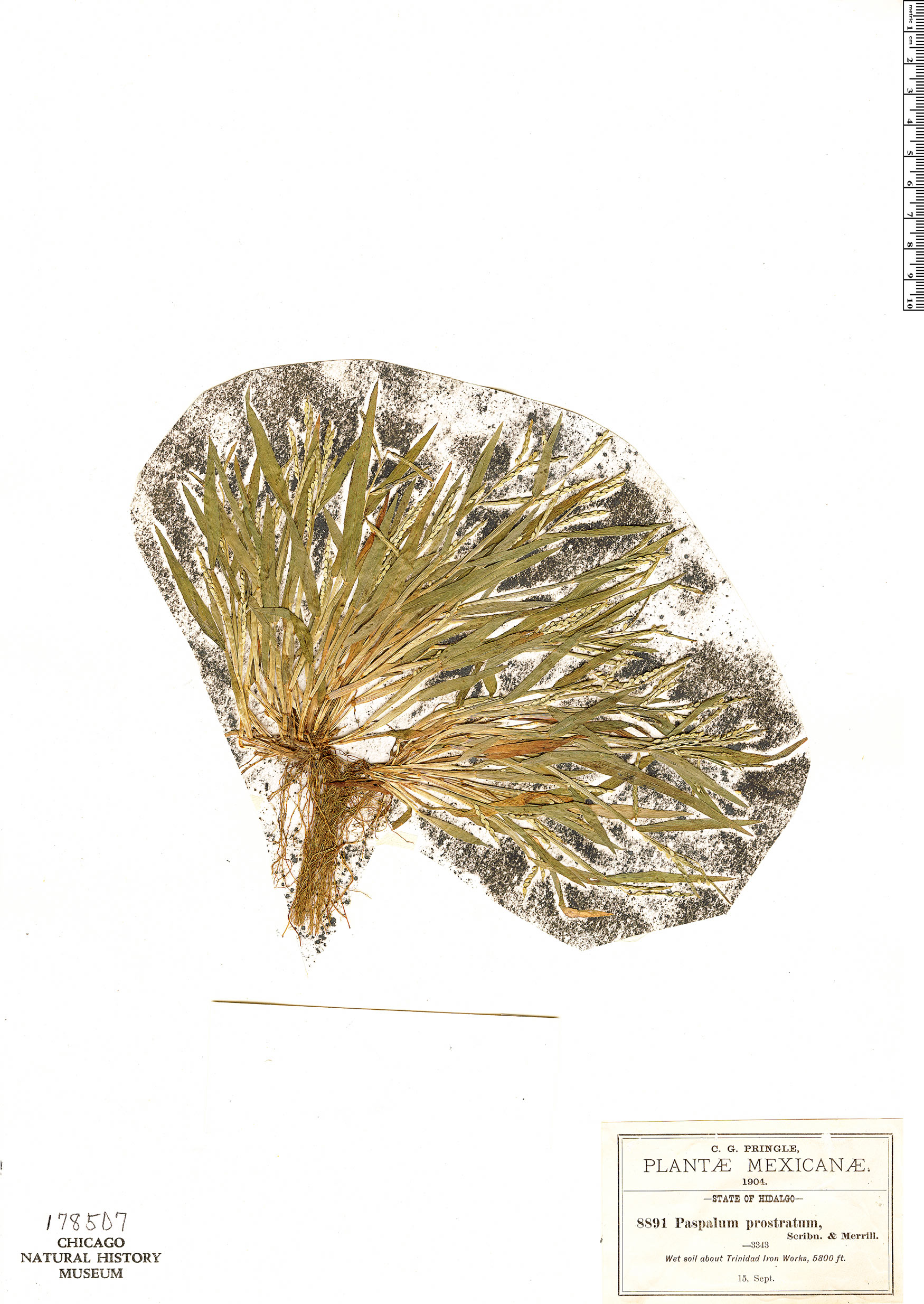 Espécimen: Paspalum prostratum