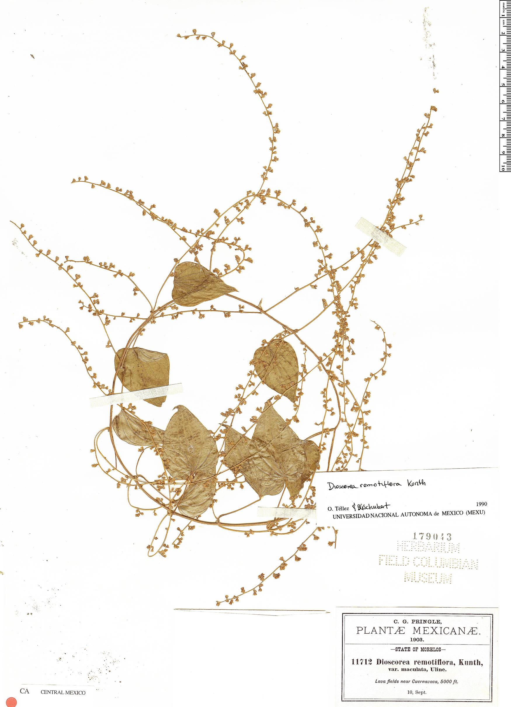 Specimen: Dioscorea remotiflora