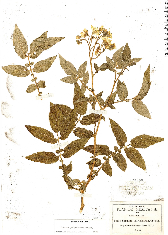 Specimen: Solanum polyadenium