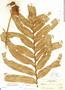 Phlebodium decumanum (Willd.) J. Sm., Mexico, E. Palmer 673, F