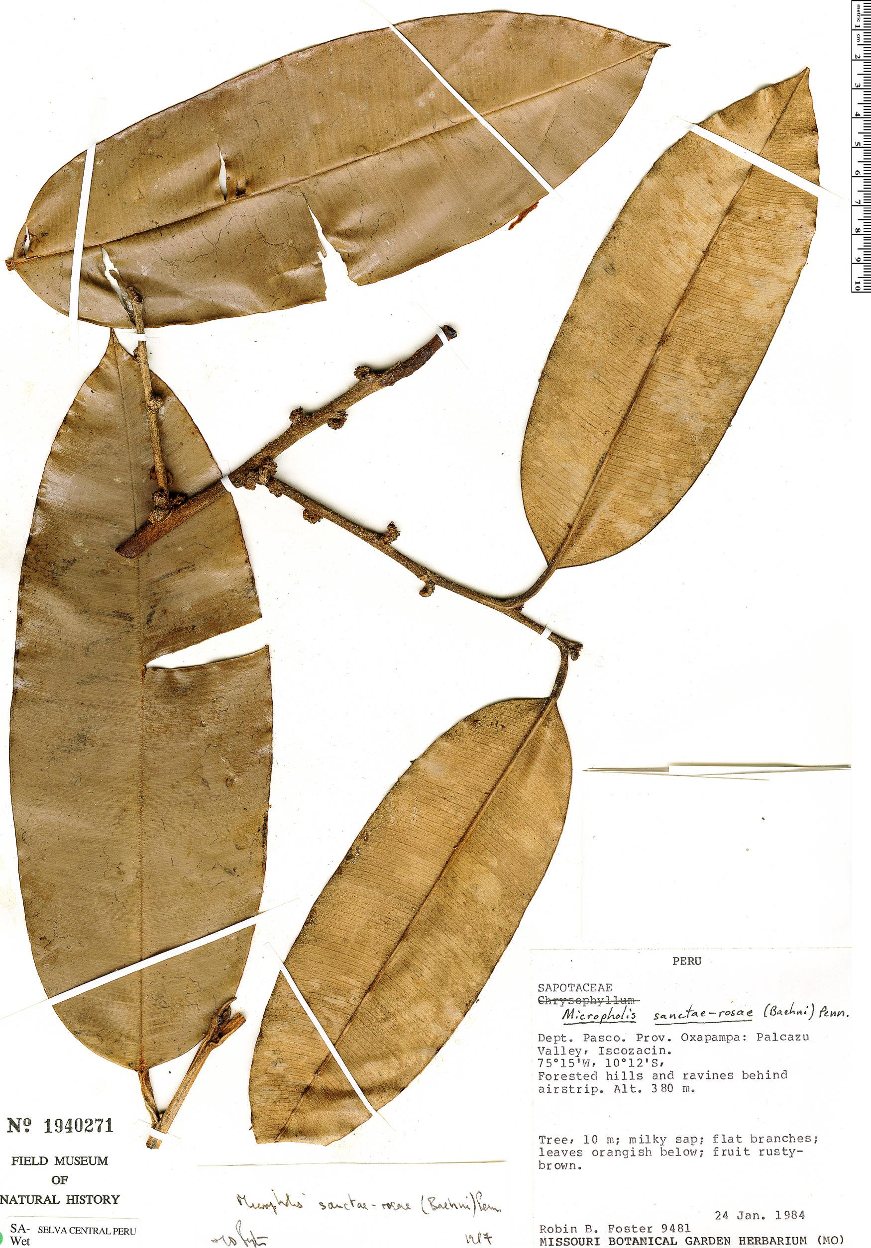 Specimen: Micropholis williamii