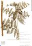 Dennstaedtia cornuta image