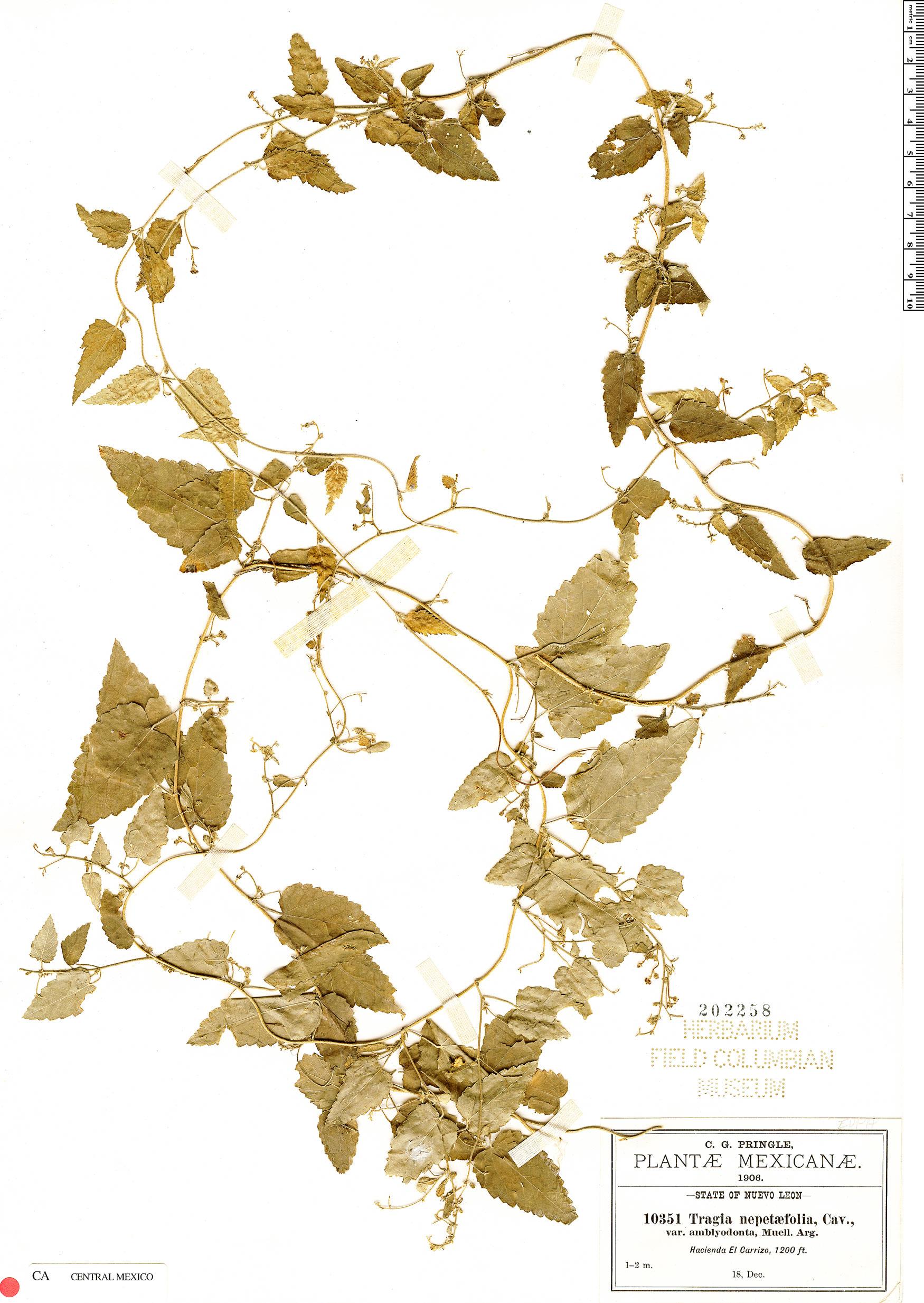 Specimen: Tragia nepetifolia