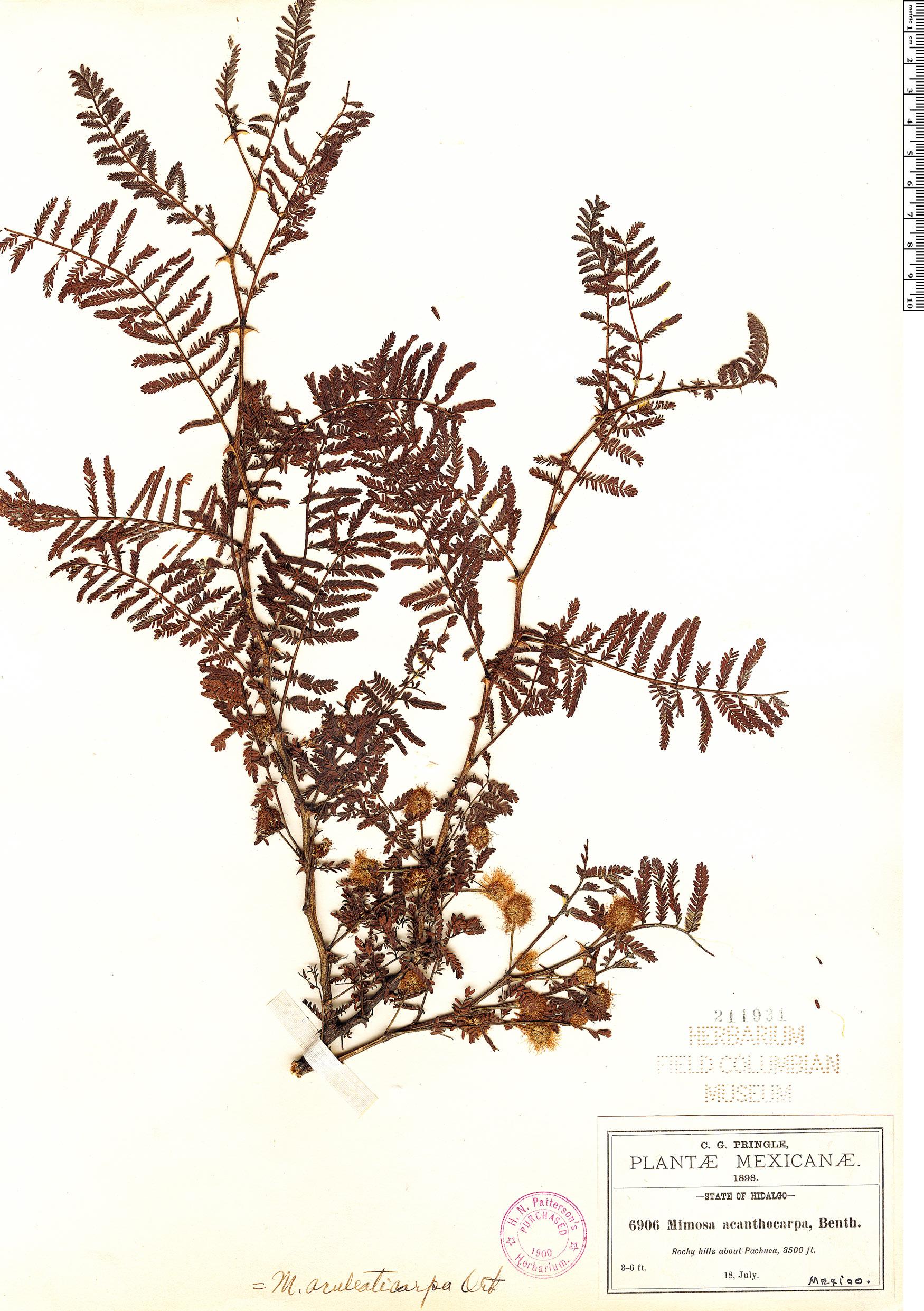 Specimen: Mimosa aculeaticarpa