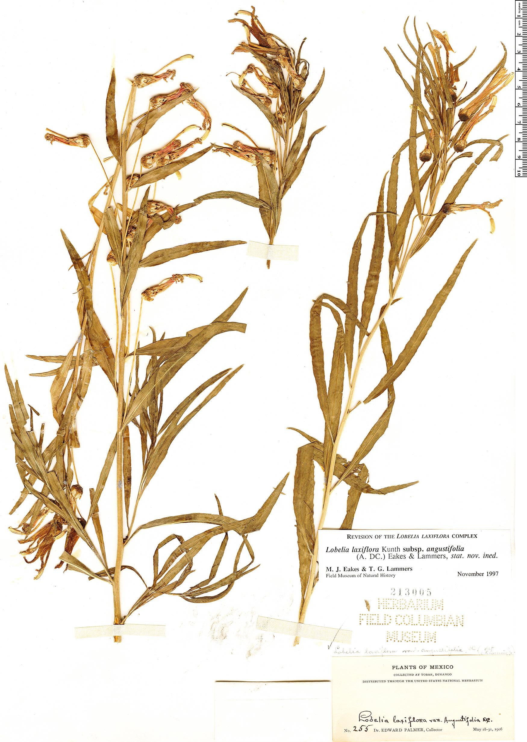Specimen: Lobelia laxiflora