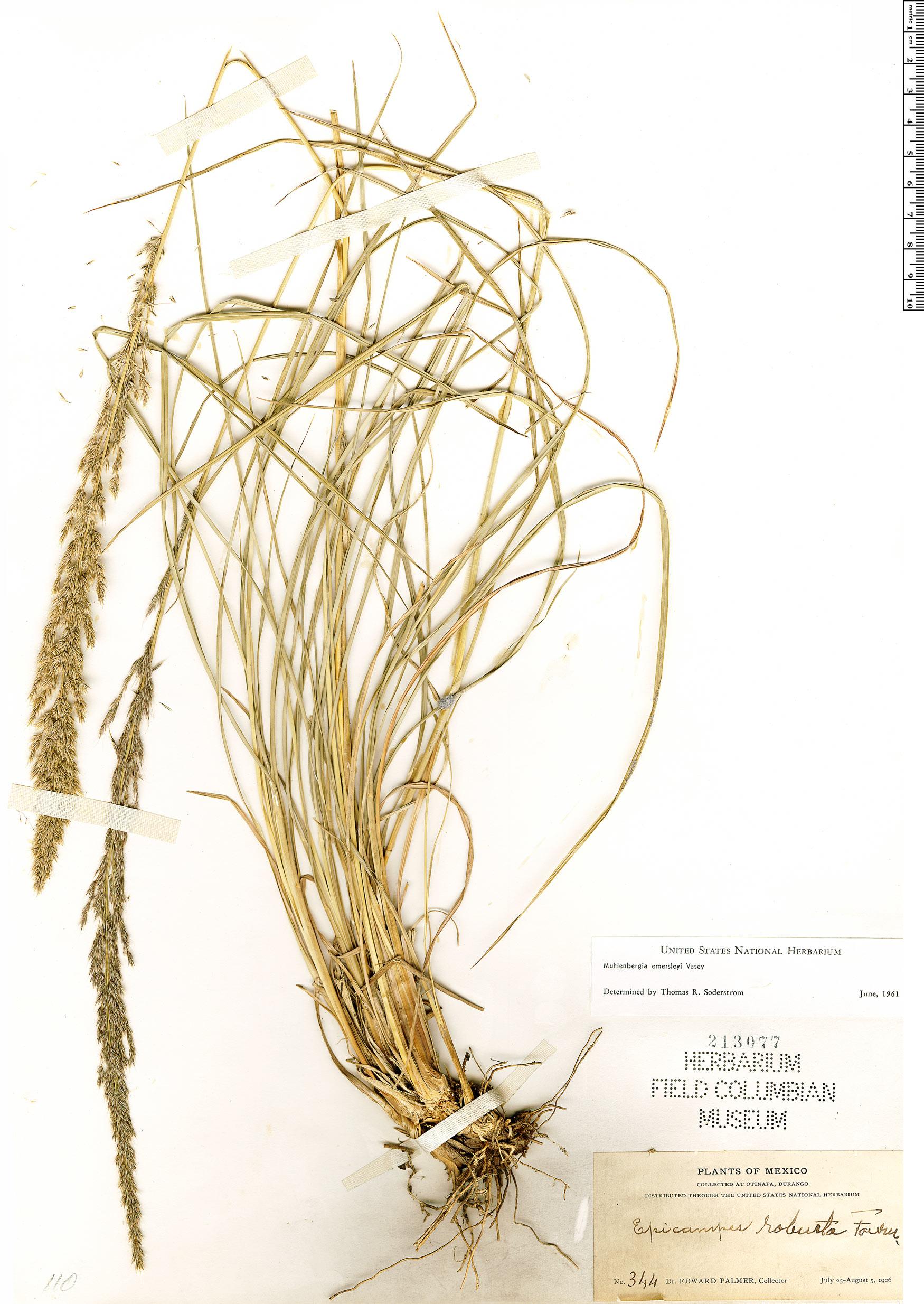 Specimen: Muhlenbergia emersleyi