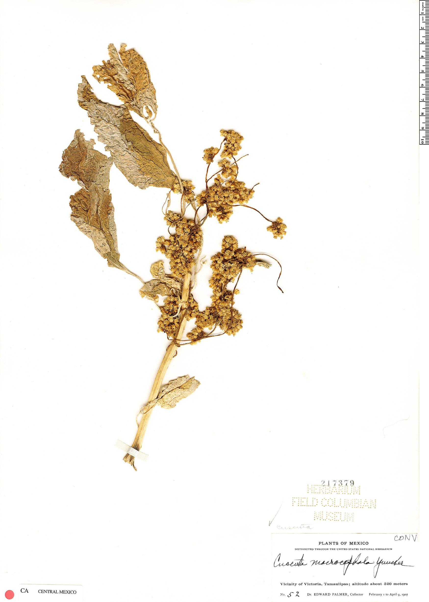 Cuscuta macrocephala image