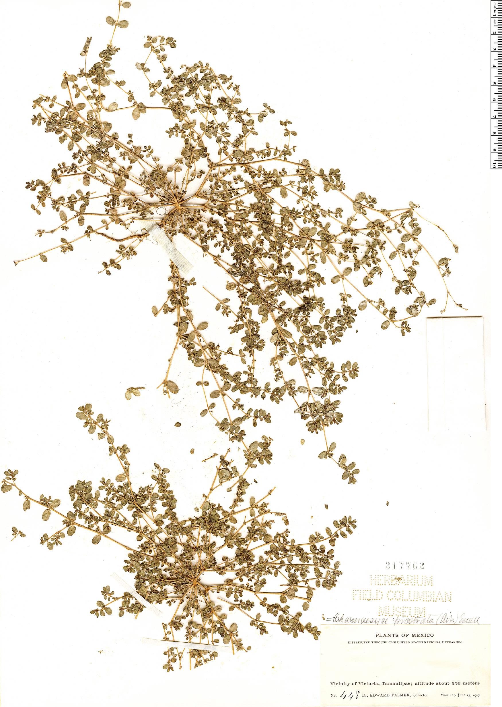 Specimen: Euphorbia prostrata