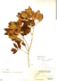 Eugenia foetida Pers., BAHAMAS, P. Wilson 7346, F