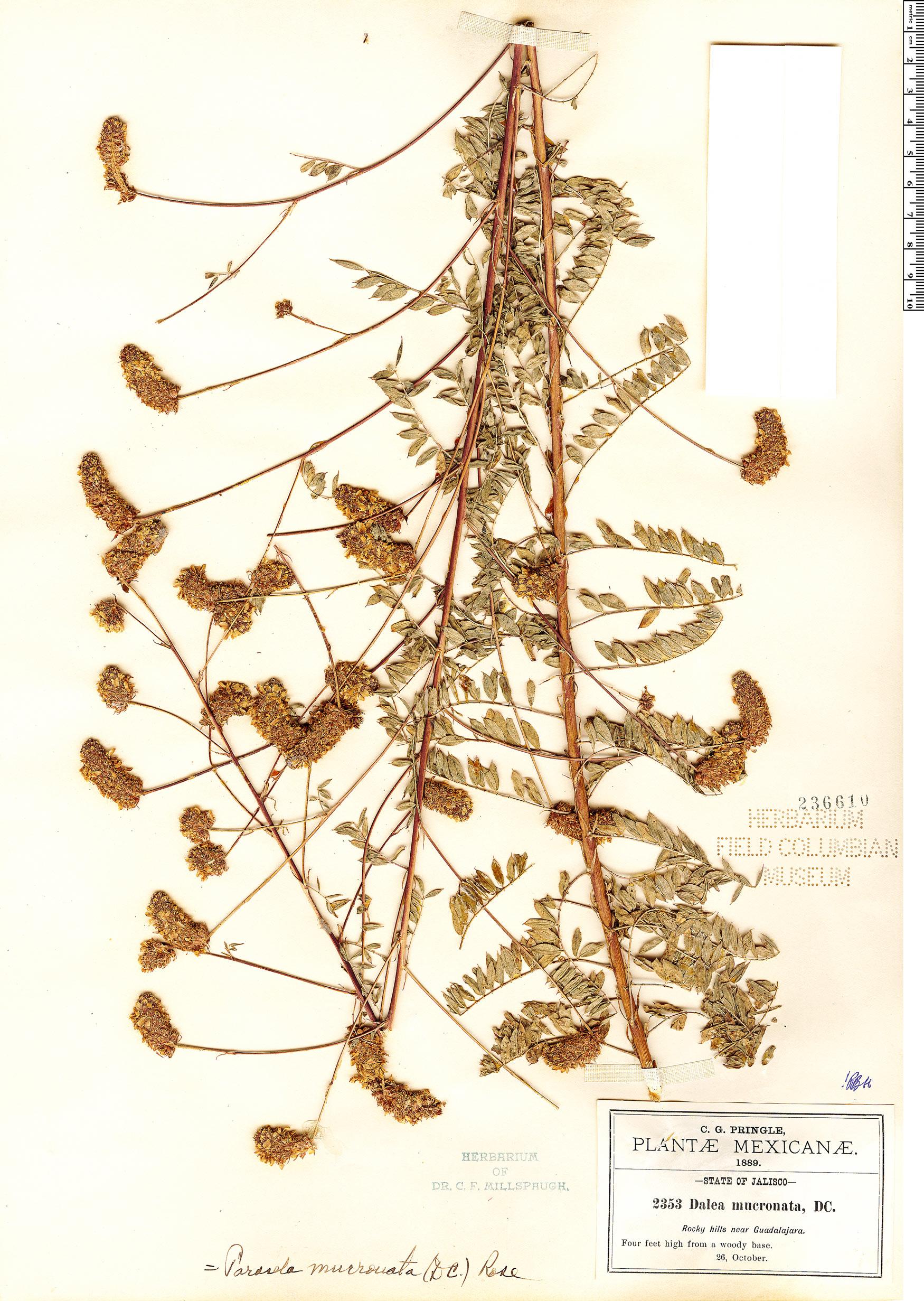 Espécimen: Dalea mucronata