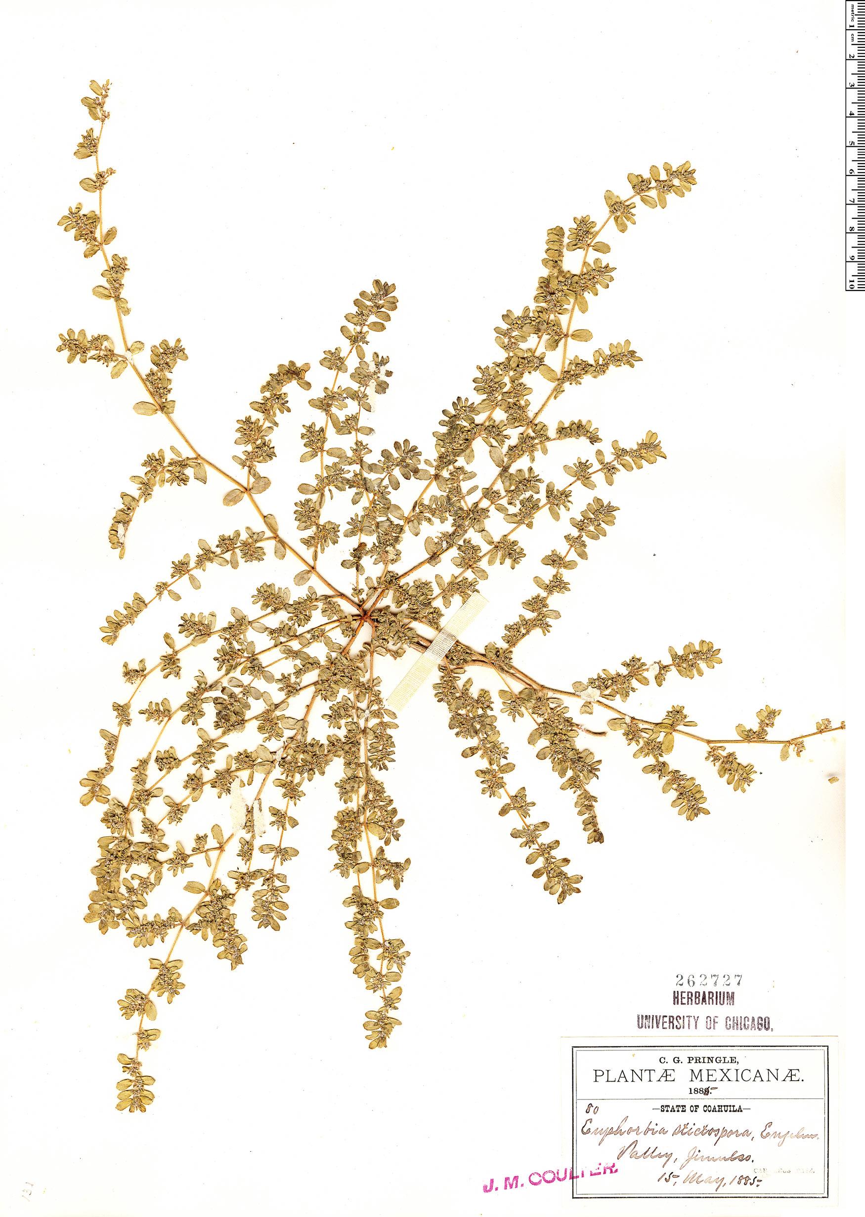 Specimen: Euphorbia stictospora