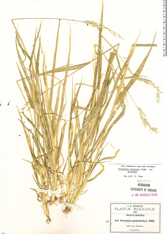 Specimen: Eriochloa aristata