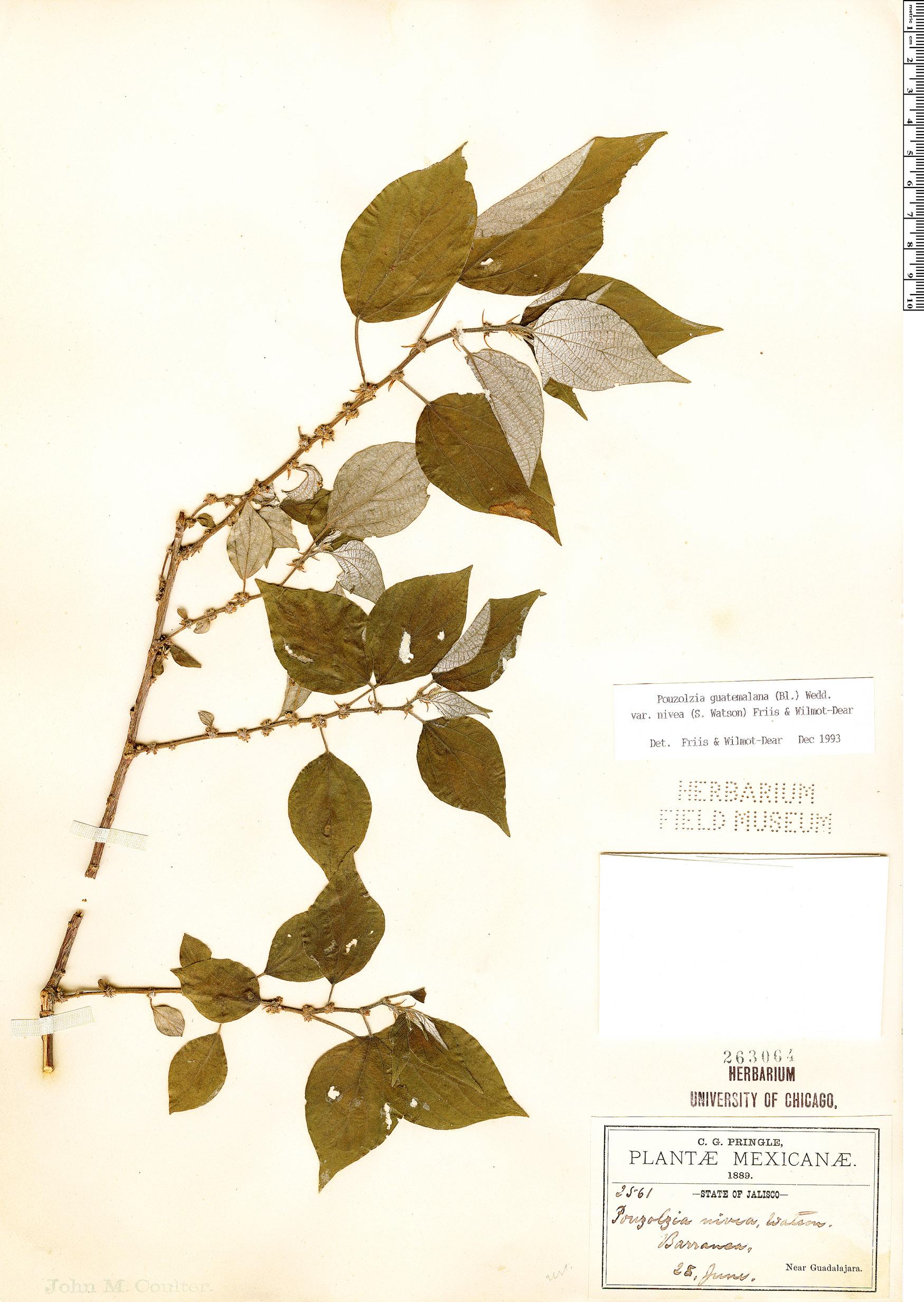 Specimen: Pouzolzia guatemalana