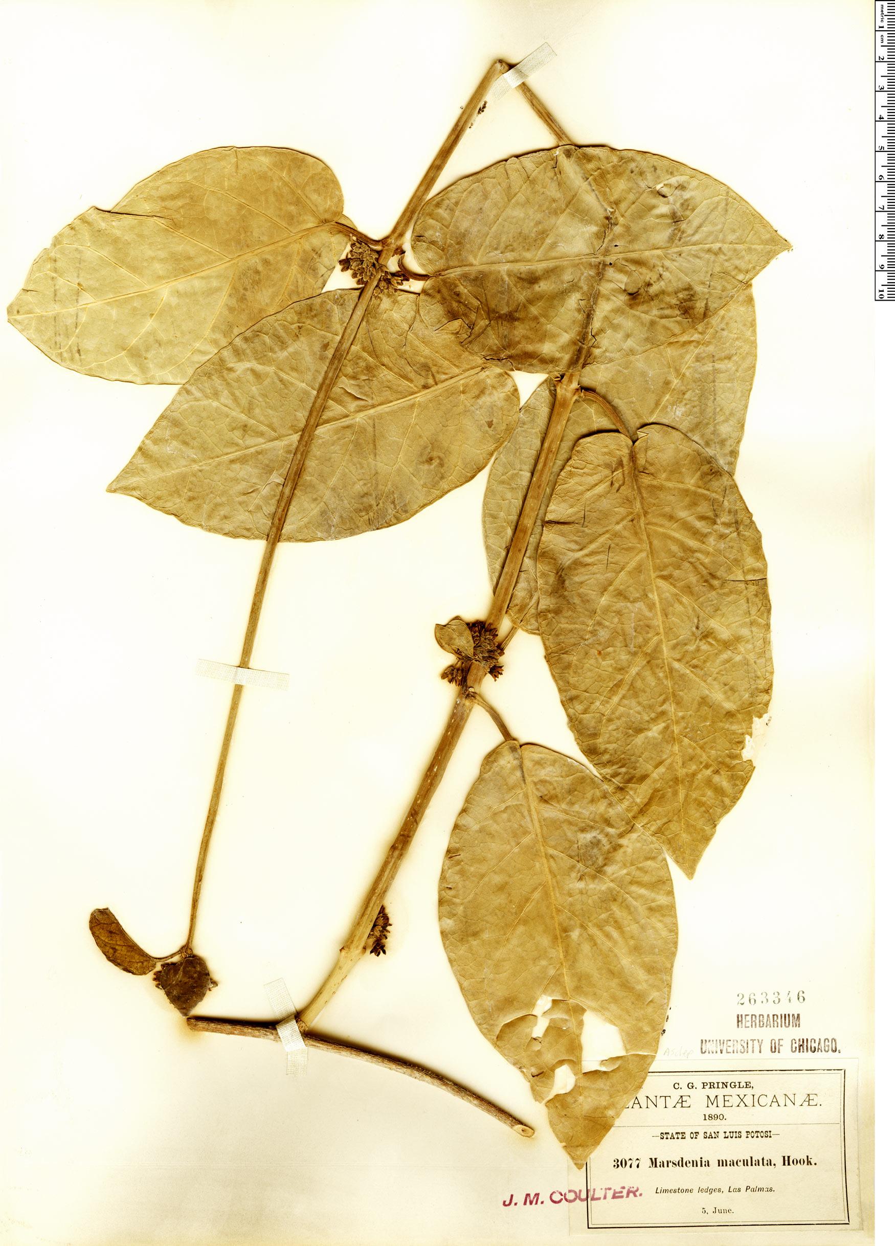 Specimen: Marsdenia propinqua