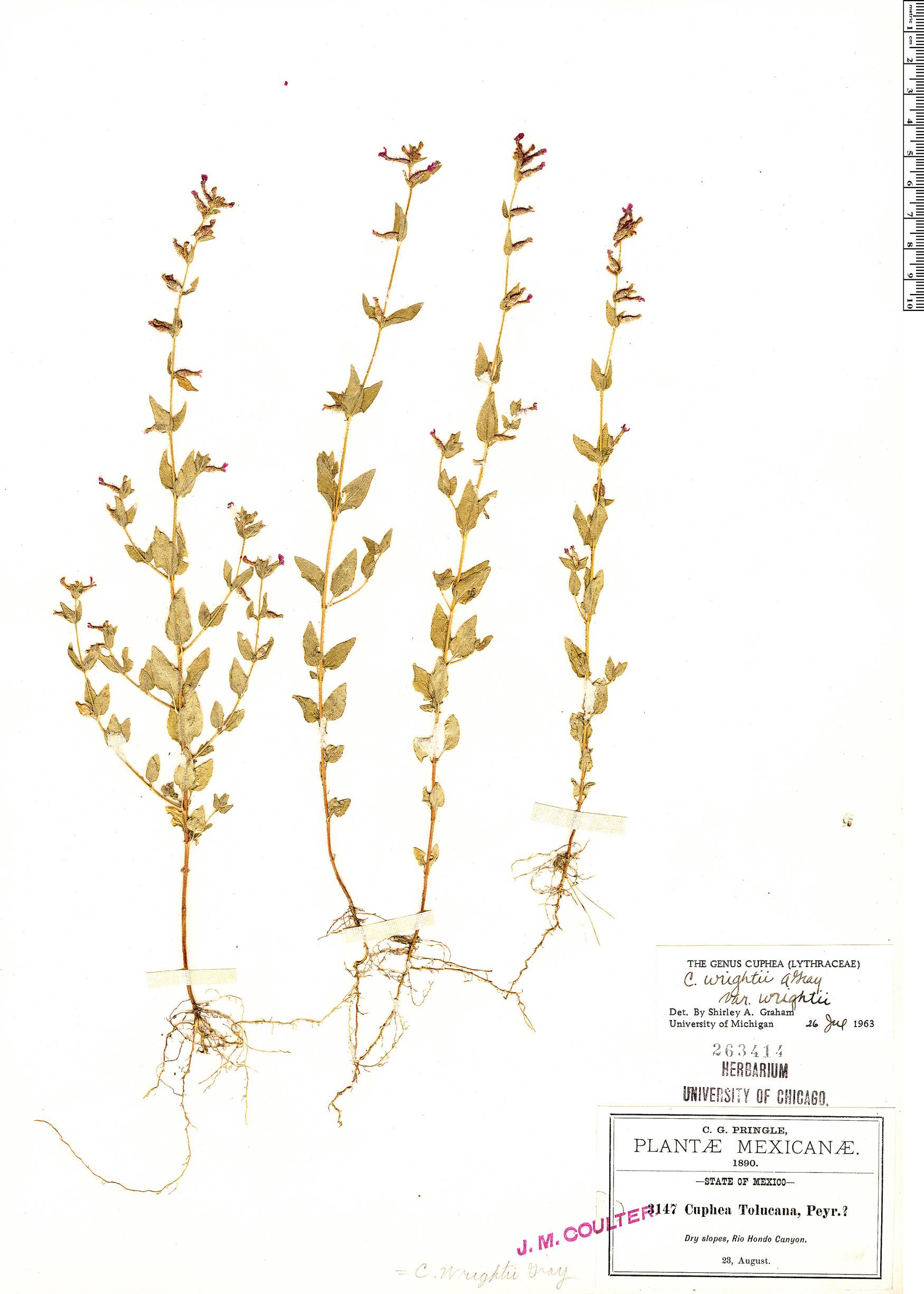 Specimen: Cuphea wrightii