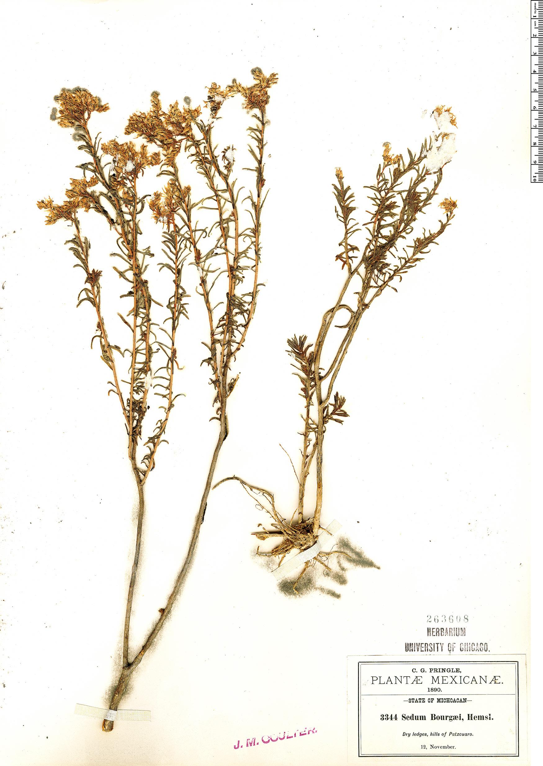 Specimen: Sedum bourgaei