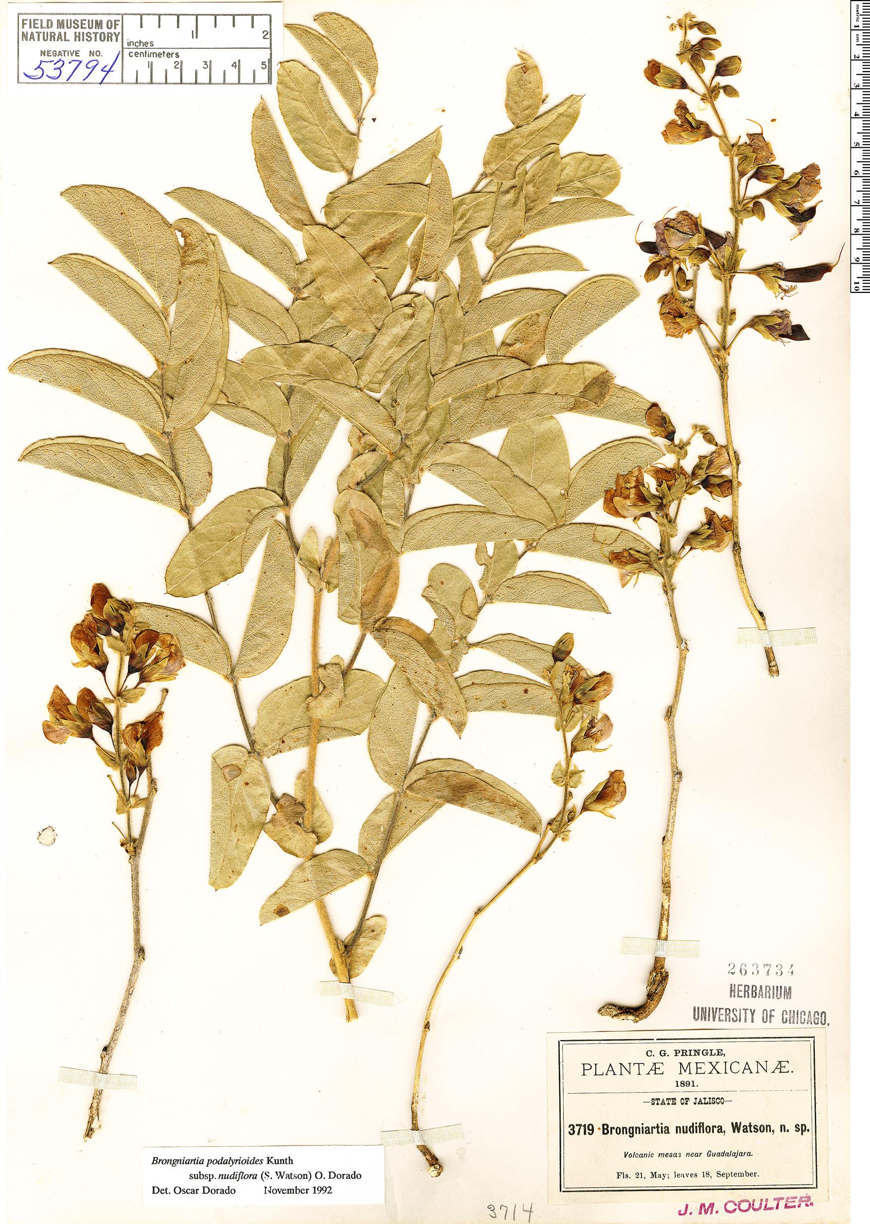 Specimen: Brongniartia nudiflora