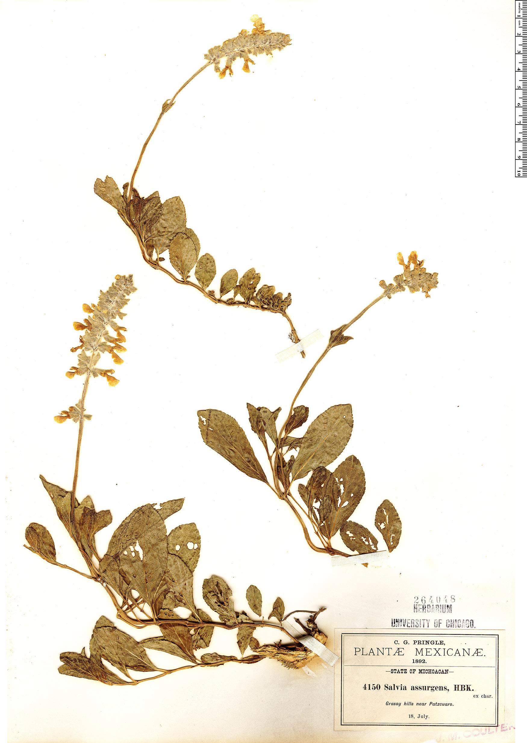 Specimen: Salvia assurgens