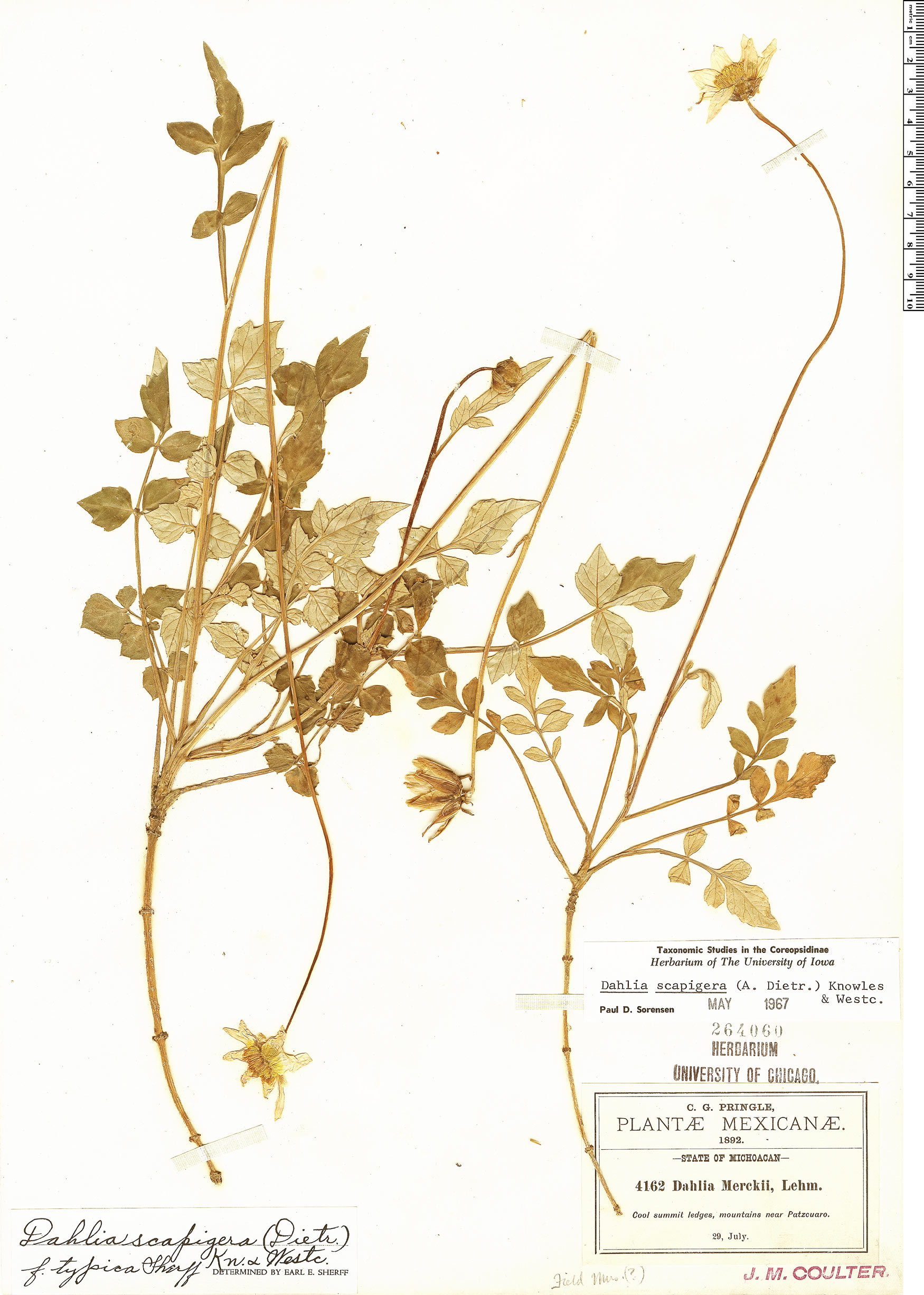 Specimen: Dahlia scapigera