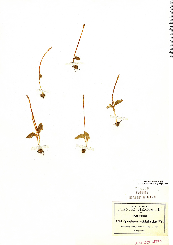 Espécimen: Ophioglossum crotalophoroides