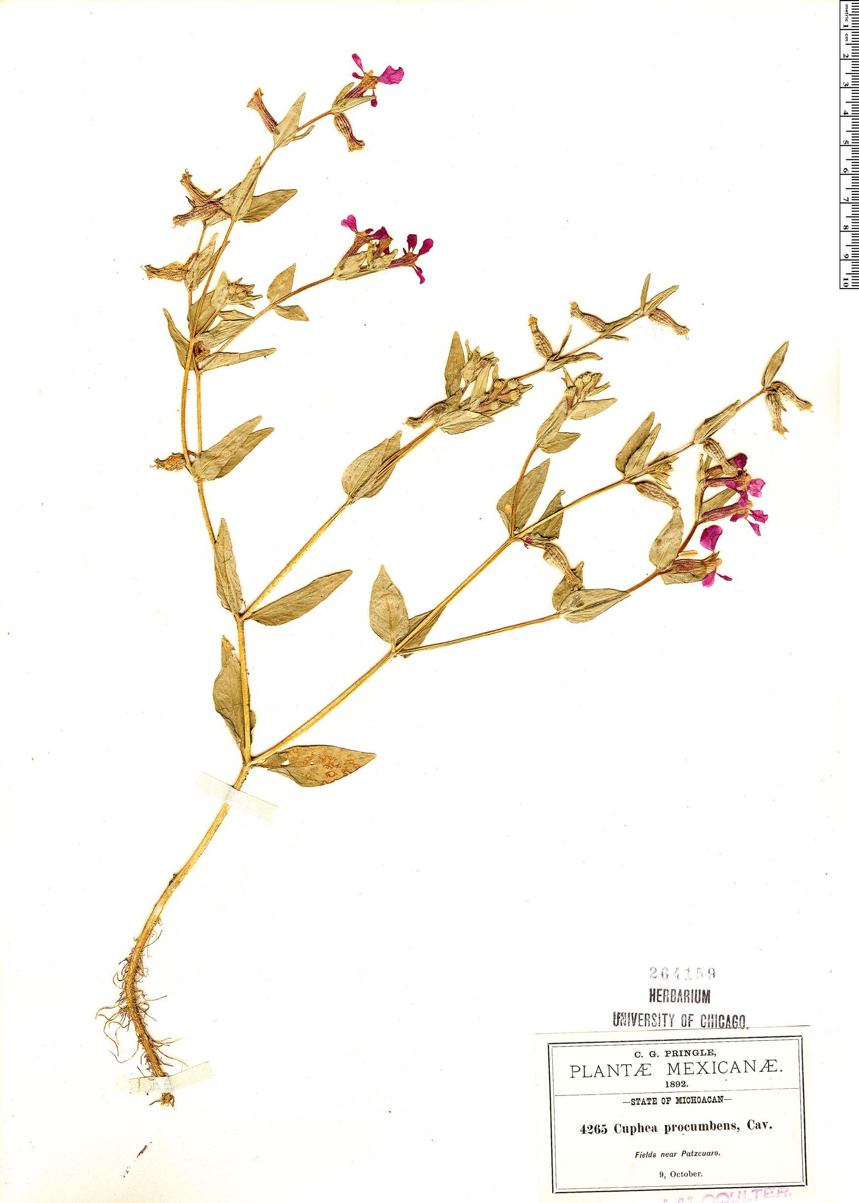Specimen: Cuphea procumbens