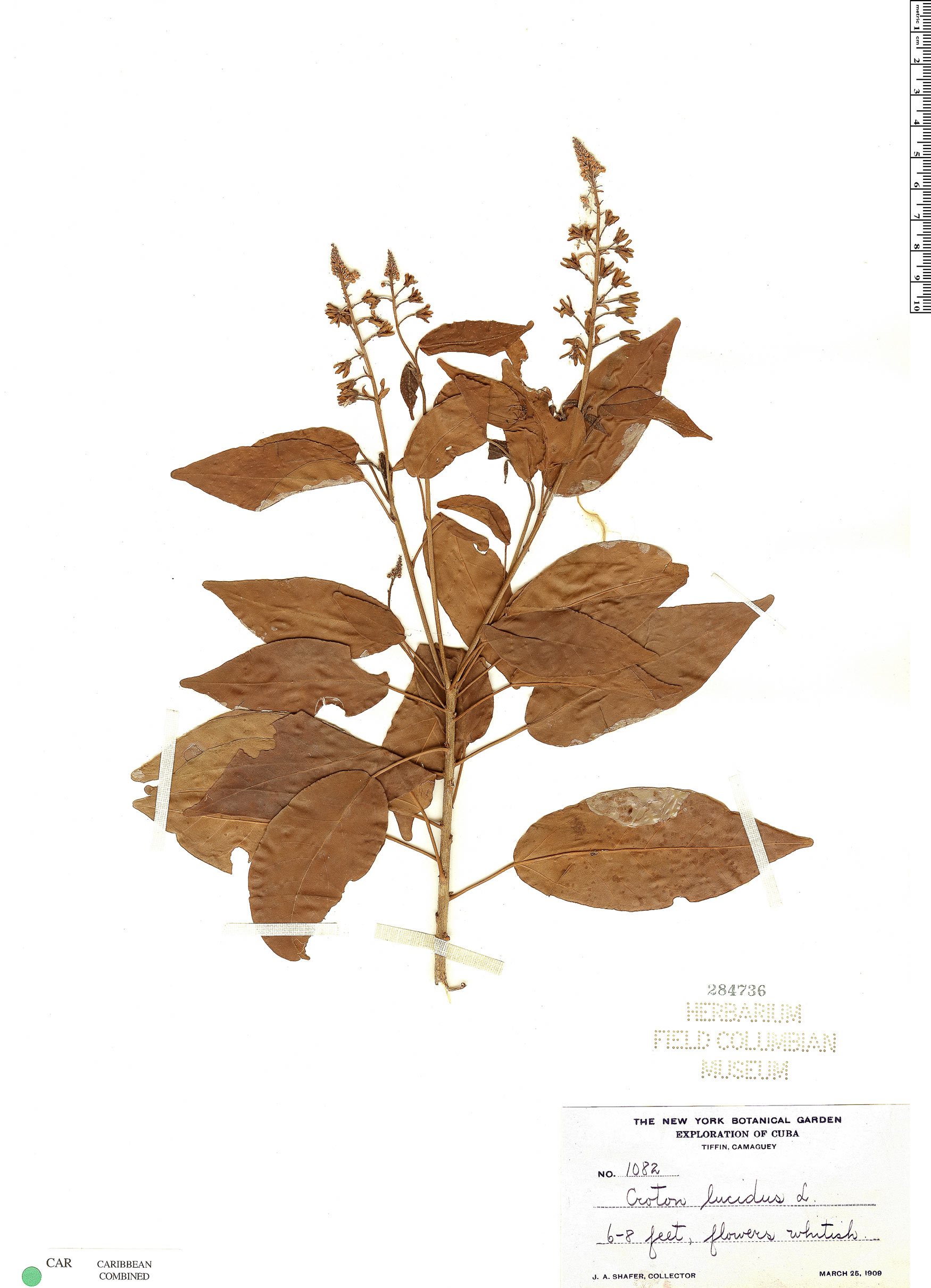 Specimen: Croton glabellus