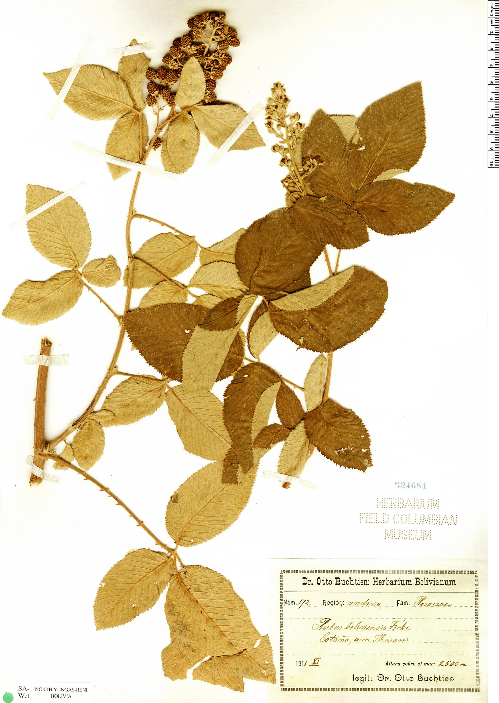 Specimen: Rubus boliviensis