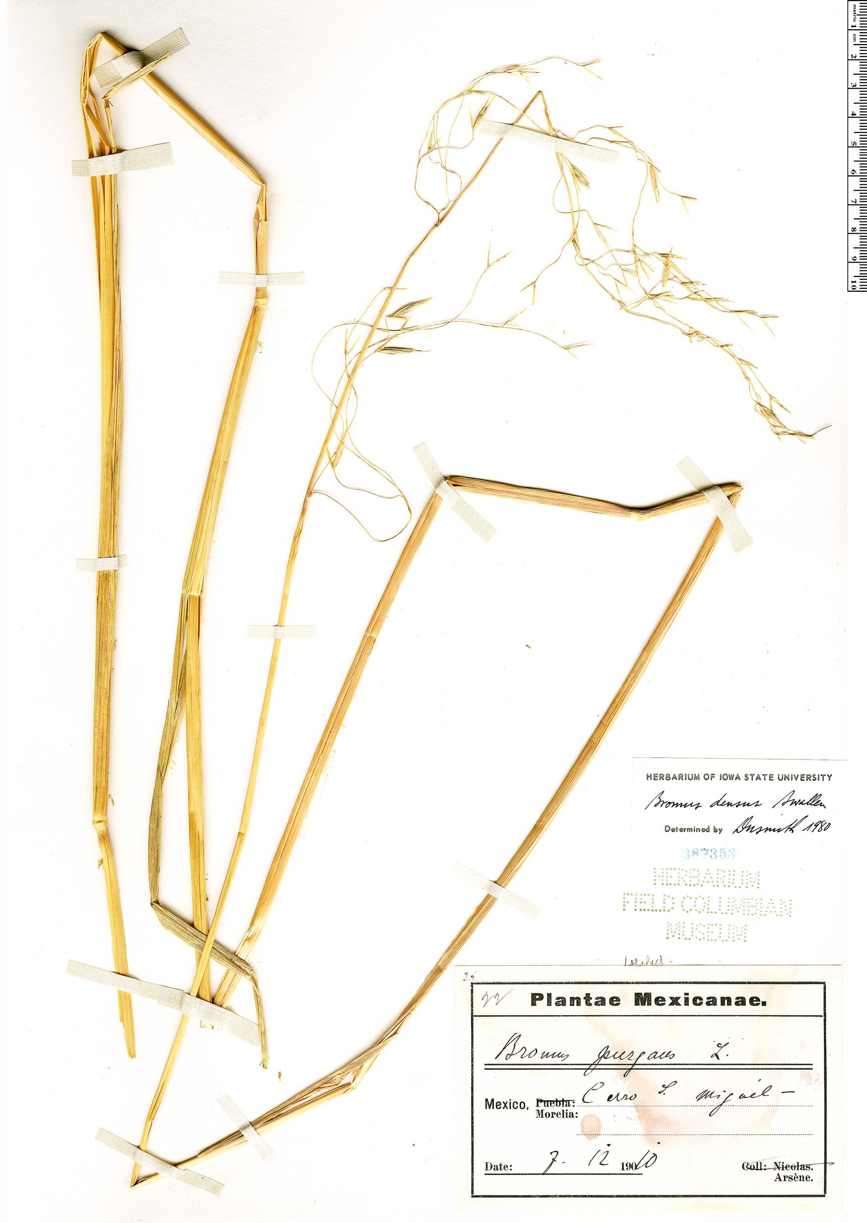 Image of Bromus densus