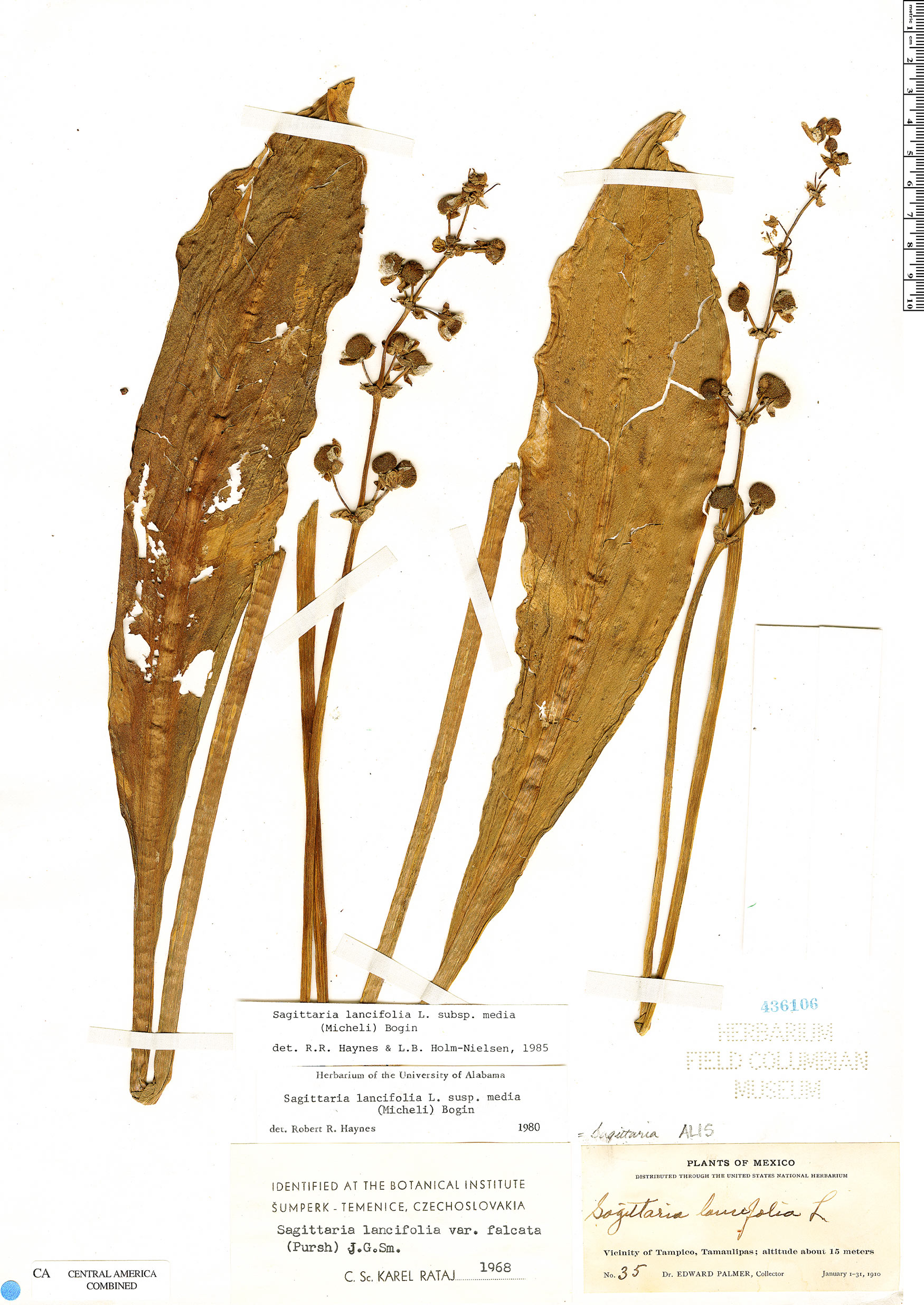 Specimen: Sagittaria lancifolia