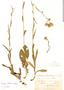 Conyza primulifolia image