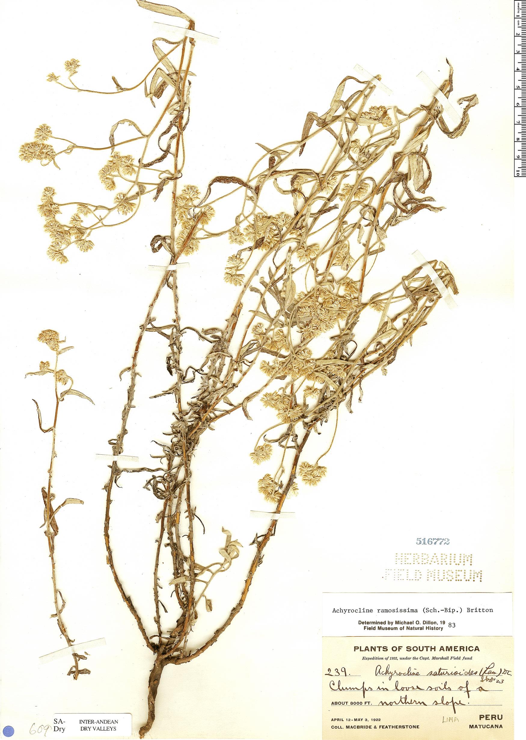 Specimen: Achyrocline ramosissima