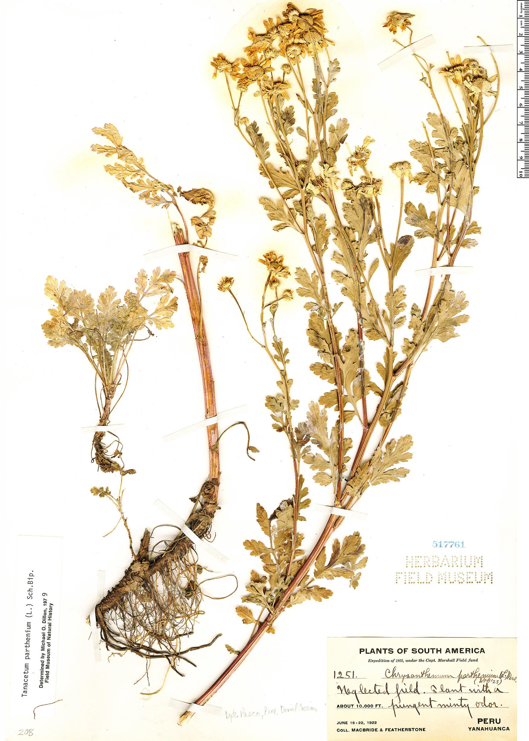 Specimen: Tanacetum parthenium