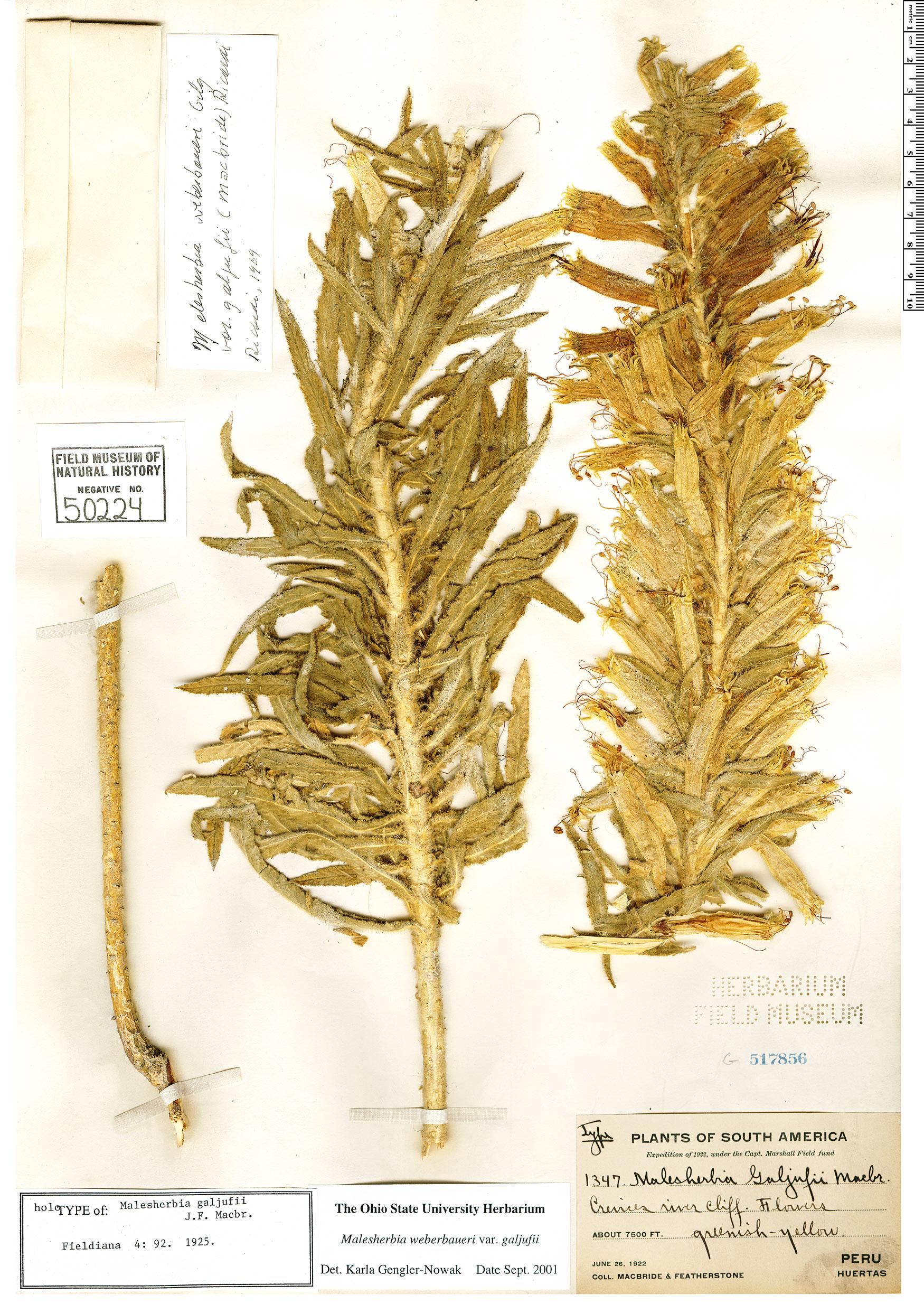 Specimen: Malesherbia weberbaueri