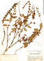 Salvia punctata Ruíz & Pav., Peru, J. F. Macbride 1396, F