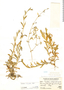 Cerastium subspicatum image